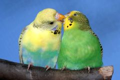 Cute Budgie Pair. Breeding pair of budgies with the male budgie bird feeding his mate Royalty Free Stock Image