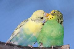 Cute Budgie Pair. Breeding pair of budgies with the male budgie bird feeding his mate Stock Image