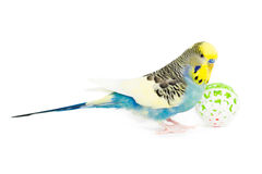 Cute Budgie. Picture of a cute Budgie with a ball Royalty Free Stock Photos