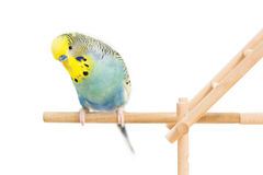 Cute Budgie Royalty Free Stock Photos