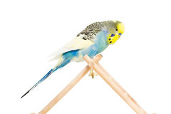 Cute Budgie Royalty Free Stock Images