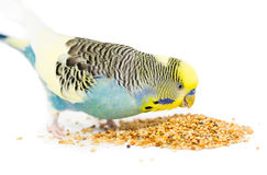 Cute Budgie. Picture of a budgie eating mixed seed Stock Photo