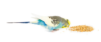 Cute Budgie Stock Image