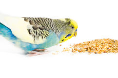 Cute Budgie Stock Photography