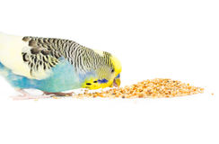Cute Budgie Royalty Free Stock Photo