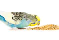 Cute Budgie Royalty Free Stock Photography