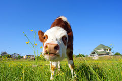 Cute bull-calf smells flowers Royalty Free Stock Photo