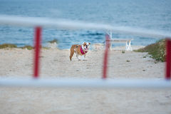 Cute bull dog with red bandana on neck standing waiting for human friend close to sea side with funny face behind the bars.  Stock Photos