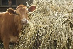 Cute bull eating hay near pile of hay and looking at camera royalty free stock photography