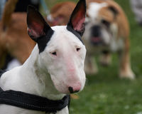 Cute bull terrier dog. A cute bull terrier dog Royalty Free Stock Image