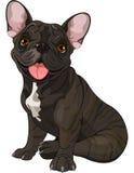Cute  bulldog Stock Photography