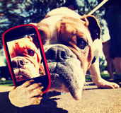 A cute bulldog with a cell phone taking a selfie Stock Photos