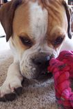 Cute bulldog. Chewing on a rope Royalty Free Stock Photography