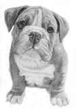 Cute bulldog hand-drawn illustration. Grayscale, facing front Royalty Free Stock Photo