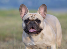 Cute Bulldog looking Stock Image