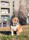 Cute bulldog in the park Stock Image