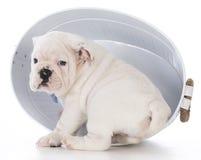 Cute bulldog puppy Stock Photos