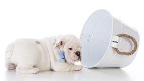 Cute bulldog puppy Royalty Free Stock Photography