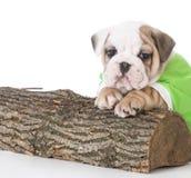 Cute bulldog puppy Royalty Free Stock Image