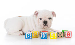 Cute bulldog puppy Stock Photography