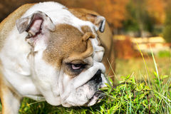 Cute Bulldog puppy portrait Stock Photo