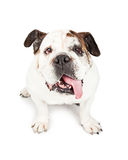 Cute Bulldog Tongue Hanging Out Royalty Free Stock Photography