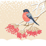 Cute Bullfinch on the branch of rowan. Winter beige snowy card with beautiful bright Bullfinch on the branch of rowan royalty free illustration