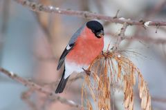 Cute bullfinch is eating the seeds of a tree. Animals wildlife. Royalty Free Stock Photos