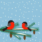 Cute bullfinches on branch spruce Stock Images