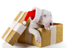 Cute bullterrier puppy in Christmas gift box Royalty Free Stock Photo