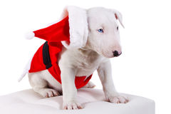 Cute bullterrier puppy in santa suit Royalty Free Stock Images