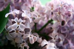 Lilac world royalty free stock photography