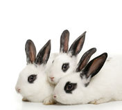 Cute bunnies Stock Photography