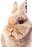 Cute bunny chewing on a straw Stock Image