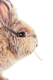 Cute bunny chewing on a straw Royalty Free Stock Photo