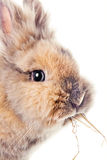 Cute bunny chewing on a straw Stock Photography