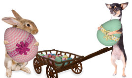Cute bunny and chihuahua dog have found a big easter eggs for easter day Stock Images