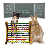 Cute Bunny and Chihuahua On the first day of school school Stock Photo