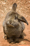 Cute bunny with floppy ears. Adorable brown rabbit with floppy ears Royalty Free Stock Photo