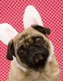 Cute Bunny Pug Stock Photos
