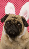 Cute Bunny Pug Royalty Free Stock Photos