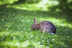 Cute bunny rabbit eating wild clover flowers in a green meadow on a sunny summer day stock photo