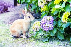 Cute bunny rabbit with hydrangea in the garden. royalty free stock photo