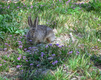 Cute Bunny Rabbit with Purple Flowers at Aztec Ruins. Cute bunny rabbit smelling purple flowers at Aztec Ruins National Monument, a World Heritage Site on a Royalty Free Stock Photos