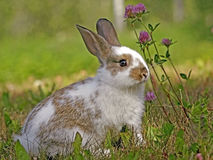 Cute Bunny Rabbit. Sitting in grass by red clover flowers Stock Photography