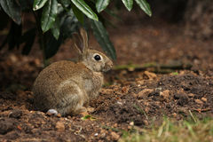 Cute bunny rabbit in undergrowth. A young bunny rabbit sat on some soil underneath a green bush watching the camera Stock Photo