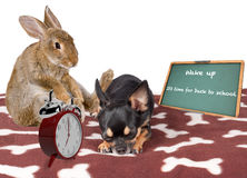 Cute bunny rabbit wake dog chihuahua up for back to school Stock Images
