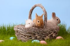 Easter rabbits in basket on grass lawn. Cute bunny rabbits in basket on grass lawn. Easter holiday concept Royalty Free Stock Photos