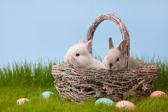 Easter rabbits in basket on grass lawn. Cute bunny rabbits in basket on grass lawn. Easter holiday concept Royalty Free Stock Photo