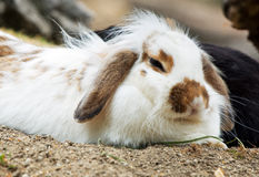 Cute bunny sleeping Royalty Free Stock Images